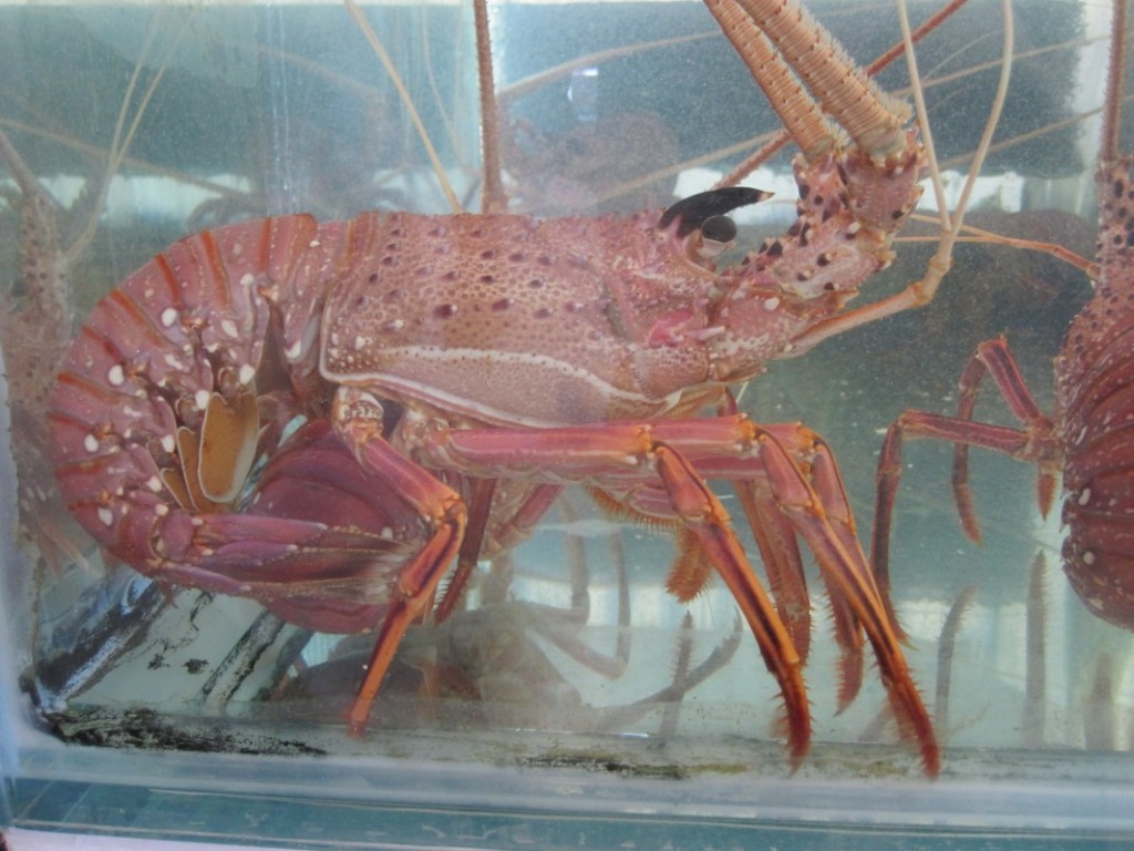 Crayfish-Rottnest Live | Direct Seafood O'Connor, Perth WA Direct Seafood O'Connor, Perth WA