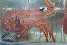 Live West Australian Lobster