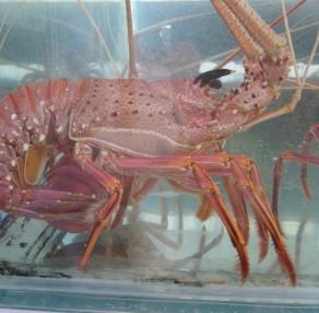 Live West Australian Lobster
