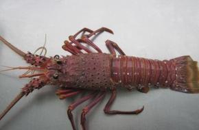 Fresh Rottnest Island Crayfish